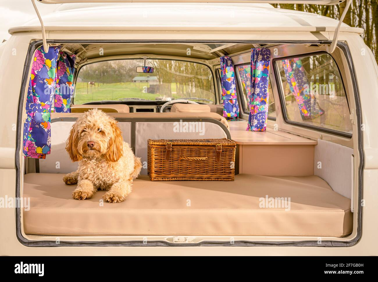 Cockapoo cane seduto in aperto sul retro del campervan VW Foto Stock