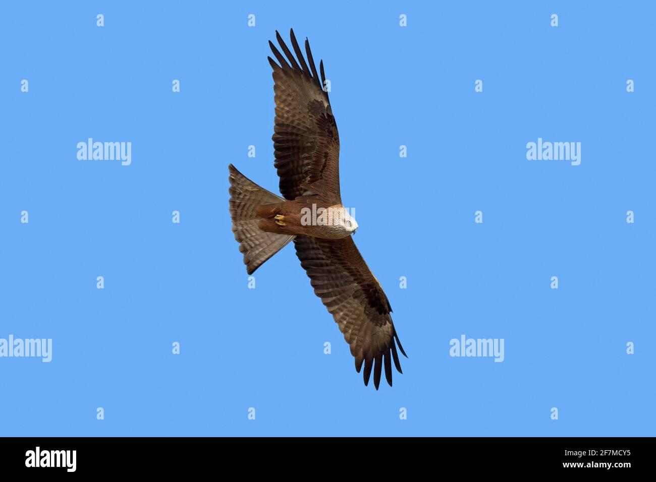 Aquilone nero (Milvus migrans) in volo che svaniscono contro il cielo blu Foto Stock