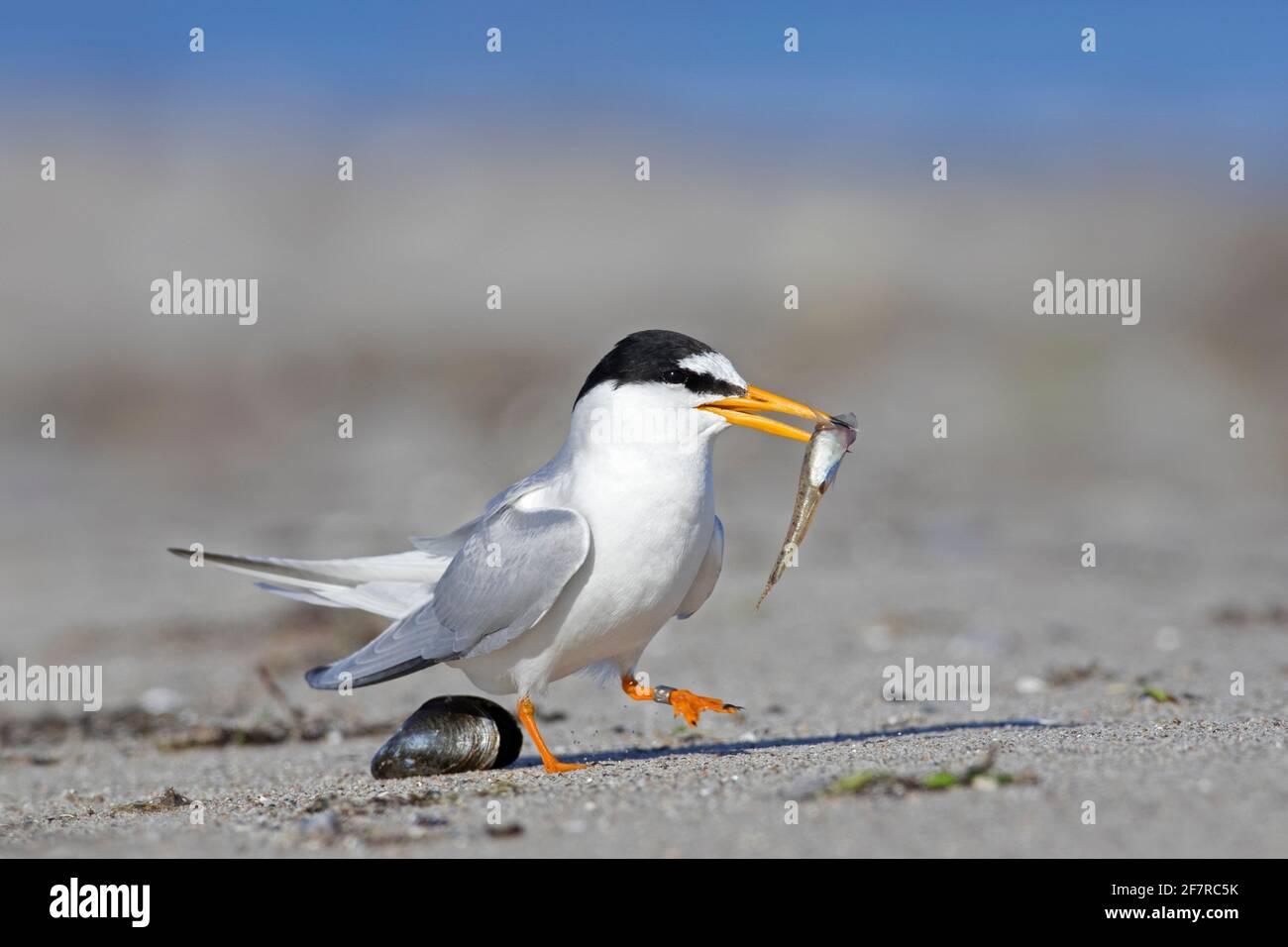 Piccolo terno (Sternula albifrons / Sterna albifrons) con la preda di pesce in becco sulla spiaggia Foto Stock