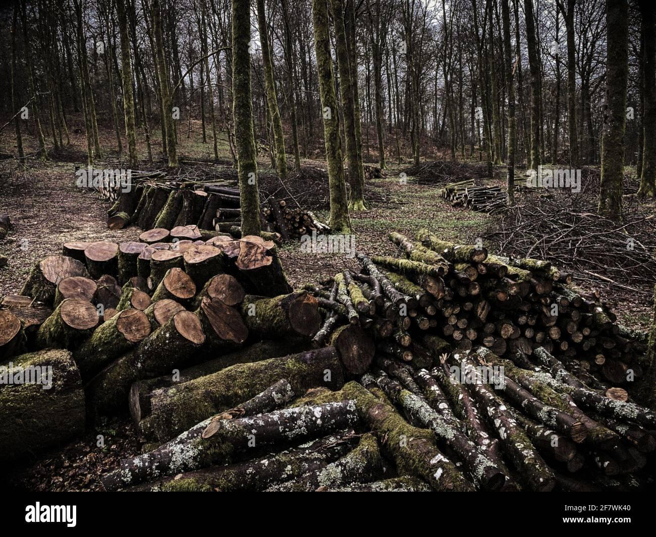 Gestione forestale, lavoro forestale, in una foresta a foglia larga, pila di tronchi di alberi tagliati in una foresta di Virton, Lussemburgo, Belgio Foto Stock