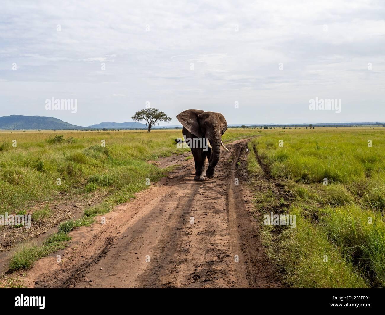 Parco Nazionale di Serengeti, Tanzania, Africa - 29 febbraio 2020: Elefante africano che cammina lungo il sentiero sterrato del Parco Nazionale di Serengeti Foto Stock