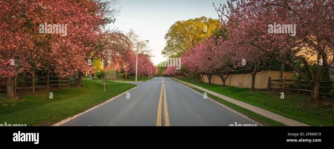 Alberi di ciliegio in piena linea di fioritura entrambi i lati di una strada suburbana in Montgomery County, Maryland. Foto Stock