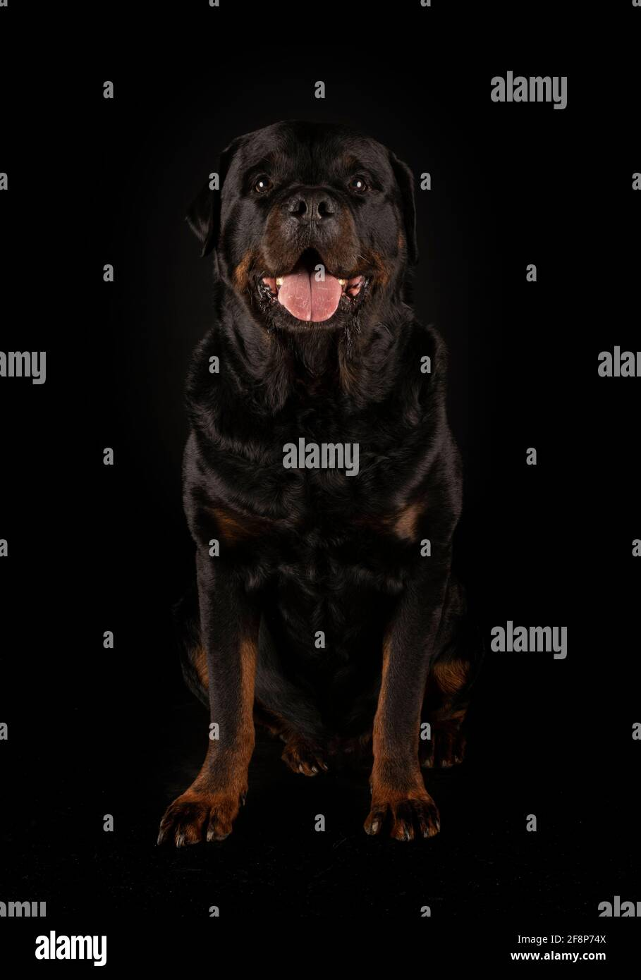 Di razza Rottweiler davanti a sfondo nero Foto Stock