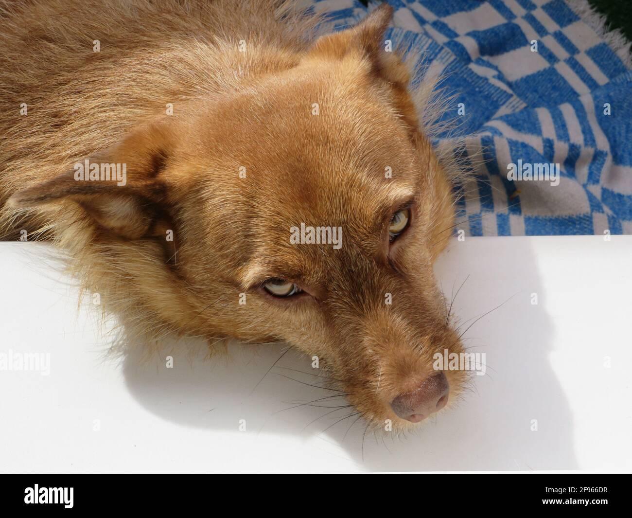 Un cane adottato dall'Abkhazia prende il sole sul balcone dell'appartamento, San Pietroburgo, Russia Foto Stock