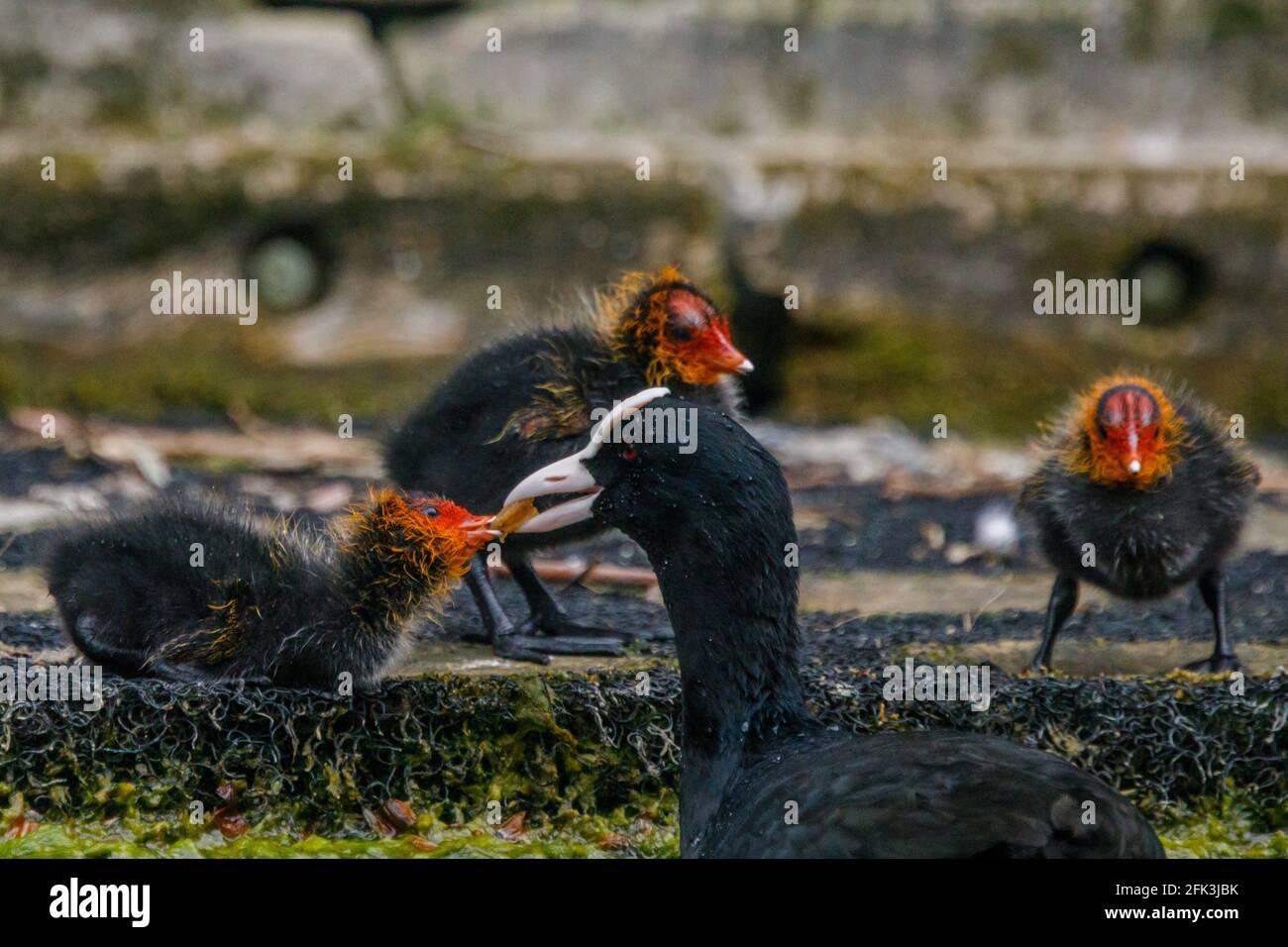 Wapping Canal, Londra, Regno Unito. 28 aprile 2021. La colazione in famiglia come un Coot alimenta i suoi cuccioli su un canale urbano a Wapping, Londra est. Amanda Rose/Alamy Foto Stock