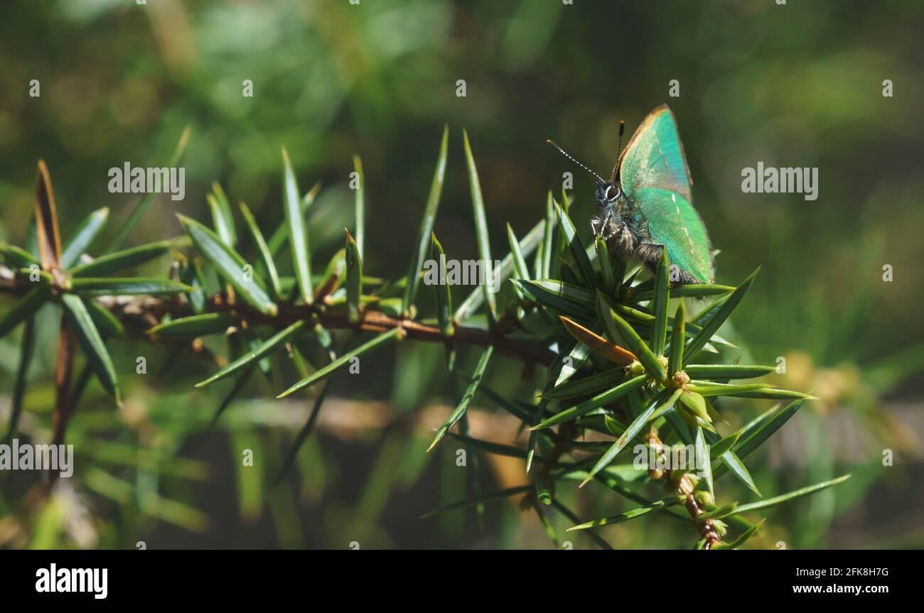 Tranquilla scena primaverile con un primo piano di verde farfalla hairstreak in una foresta sempreverde su un cespuglio di ginepro, Tirol, Austria Foto Stock