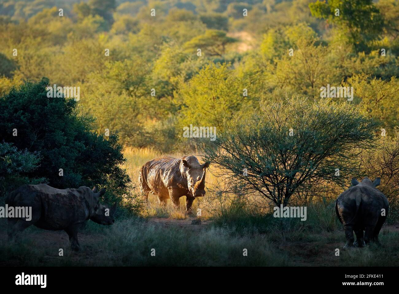 Rhino in habitat forestale. Rinoceronte bianco, Ceratotherium simum, con corna, nell'habitat naturale, Pilanesberg, Sudafrica. Fauna selvatica scena da natu Foto Stock