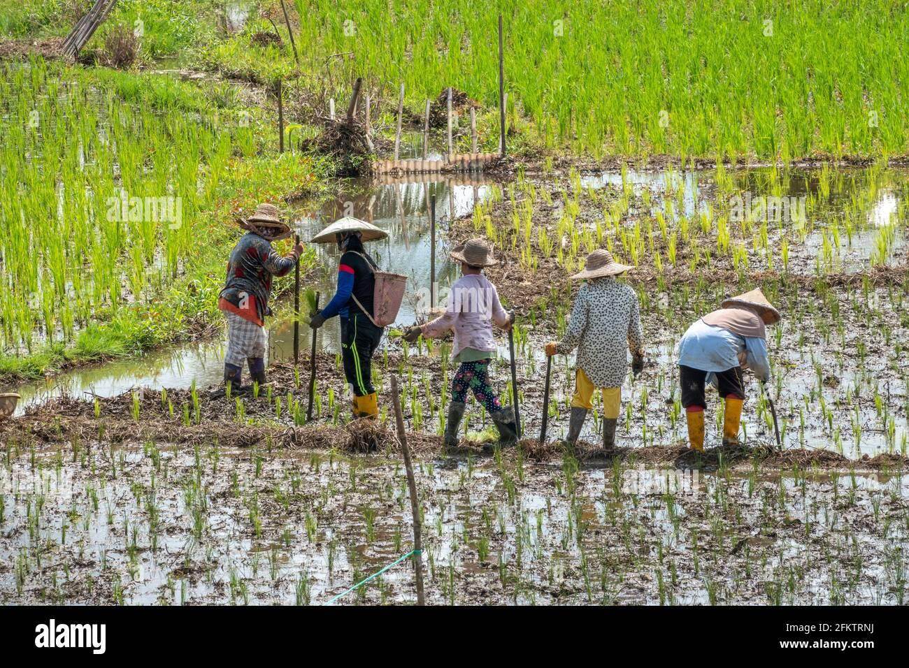 Campo di riso a Tebedu, Serian, Sarawak, Malesia orientale Foto Stock