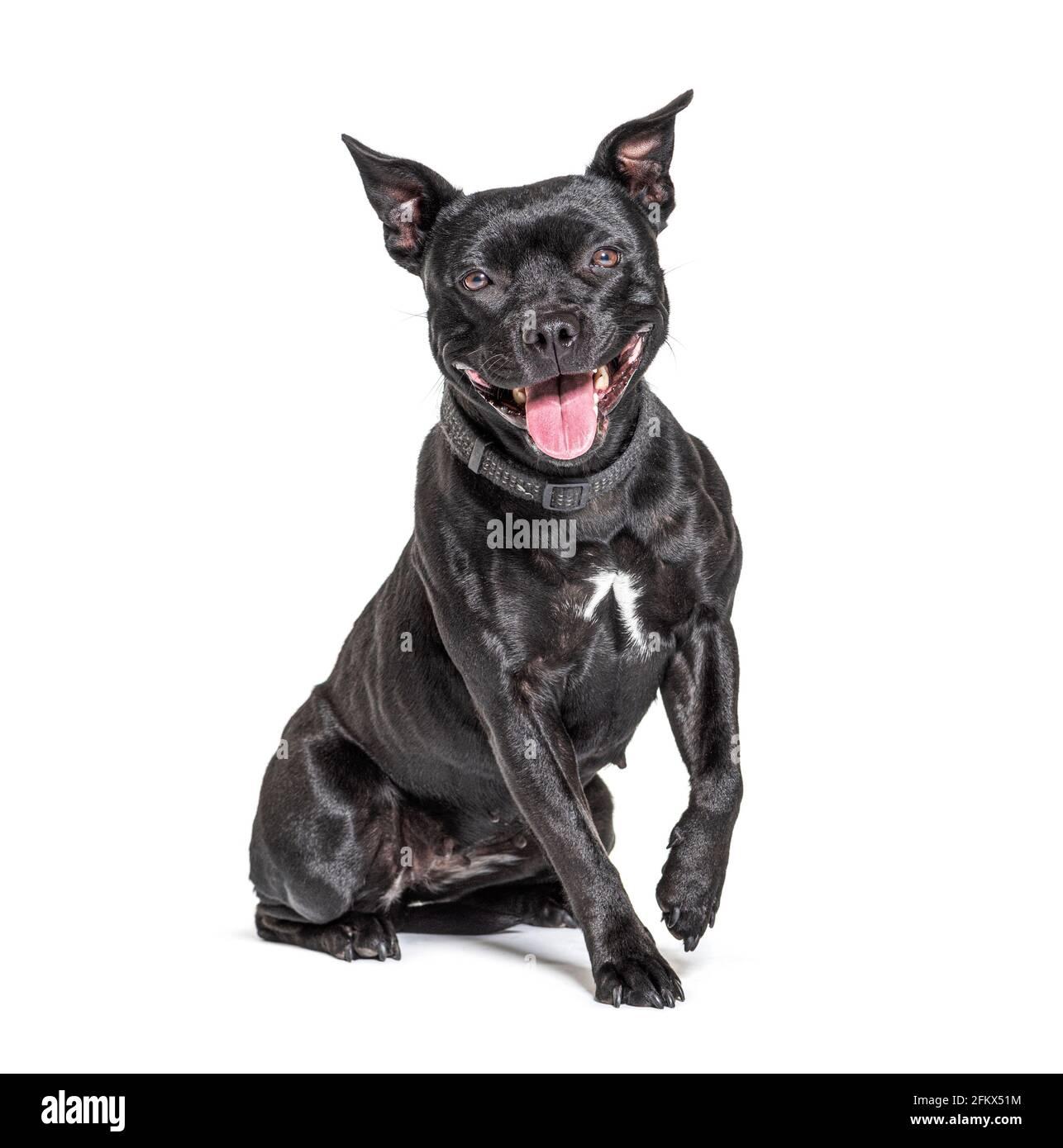 Terrier nero americano Staffordshire isolato su bianco Foto Stock