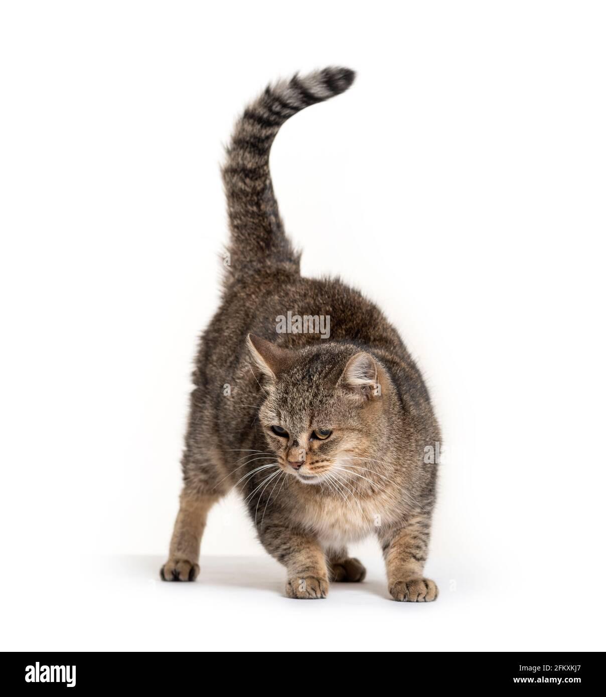 Vecchio gatto di razza guardando verso il basso Foto Stock
