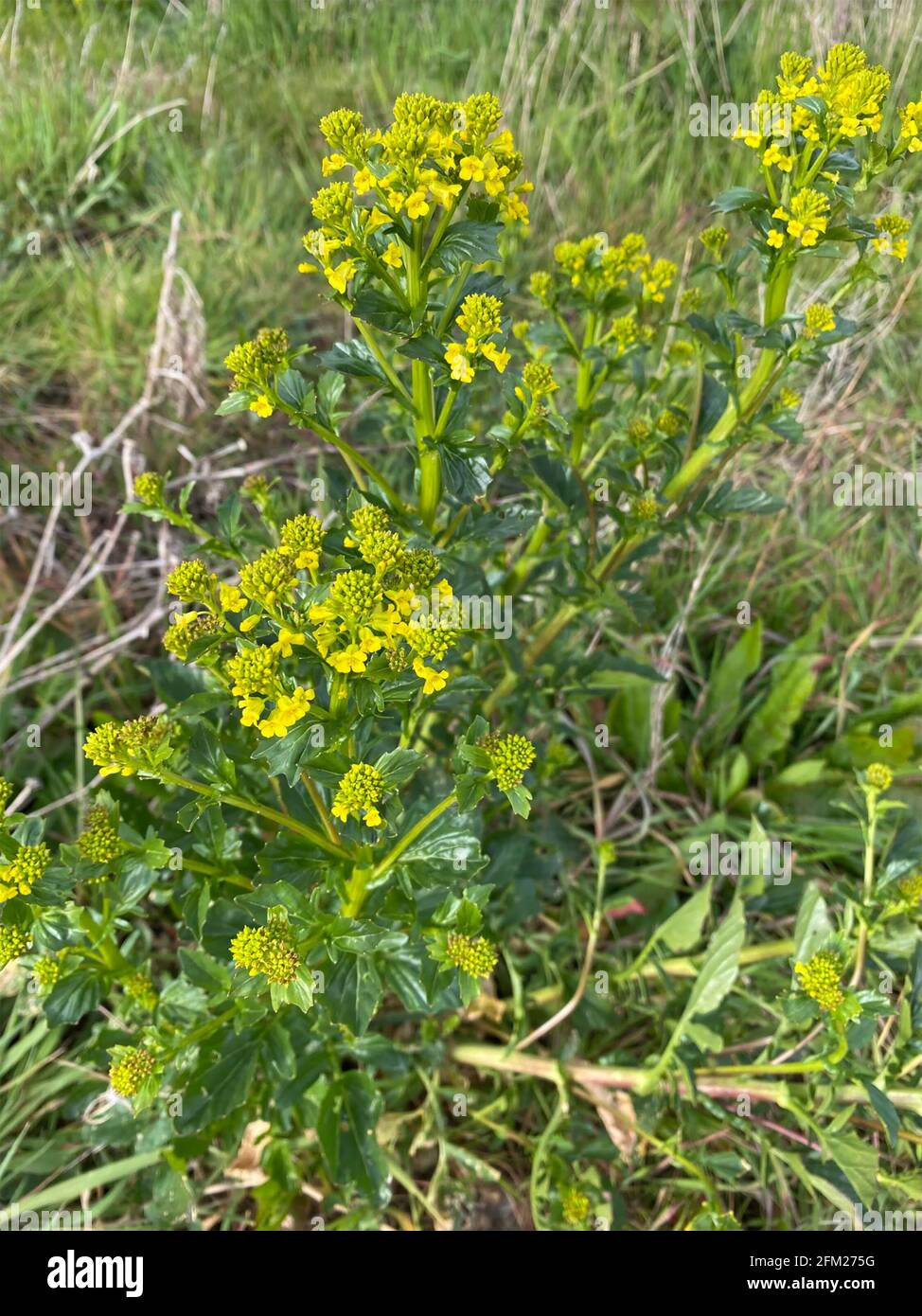 BITTERCRESS Barbarea vulgaris Biennale Herb.Photo: Tony Gale Foto Stock