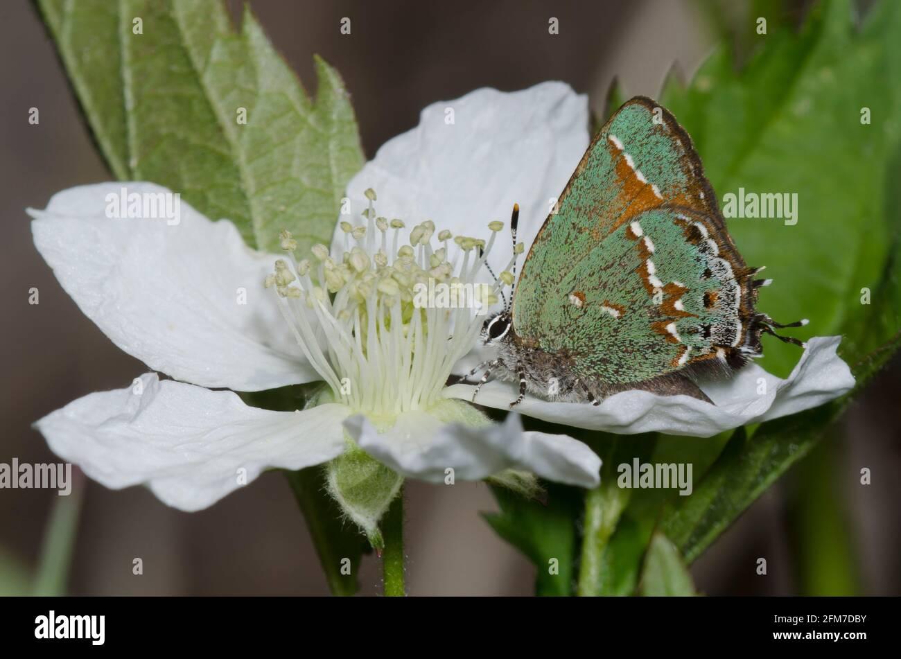 Juniper Hairstreak, Callophrys gryneus, nectaring da mora, Rubus sp. Foto Stock