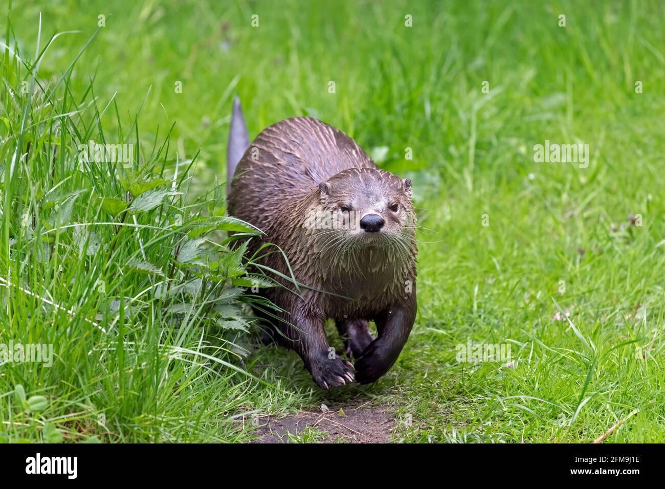 Lontra eurasiatica / lontra fluviale europeo (Lutra lutra) correre su terra in prato / prateria sulla riva del fiume / riva del fiume in primavera Foto Stock