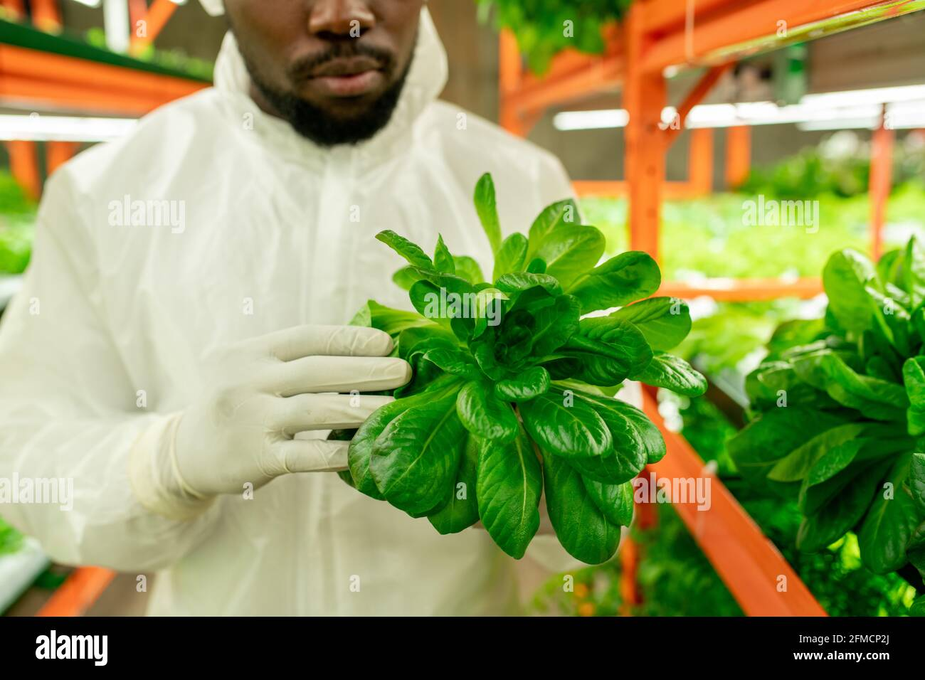 Primo piano di ingegnere agricolo nero in guanti che tengono foglie di lattuga e ispezionando pianta a serra Foto Stock