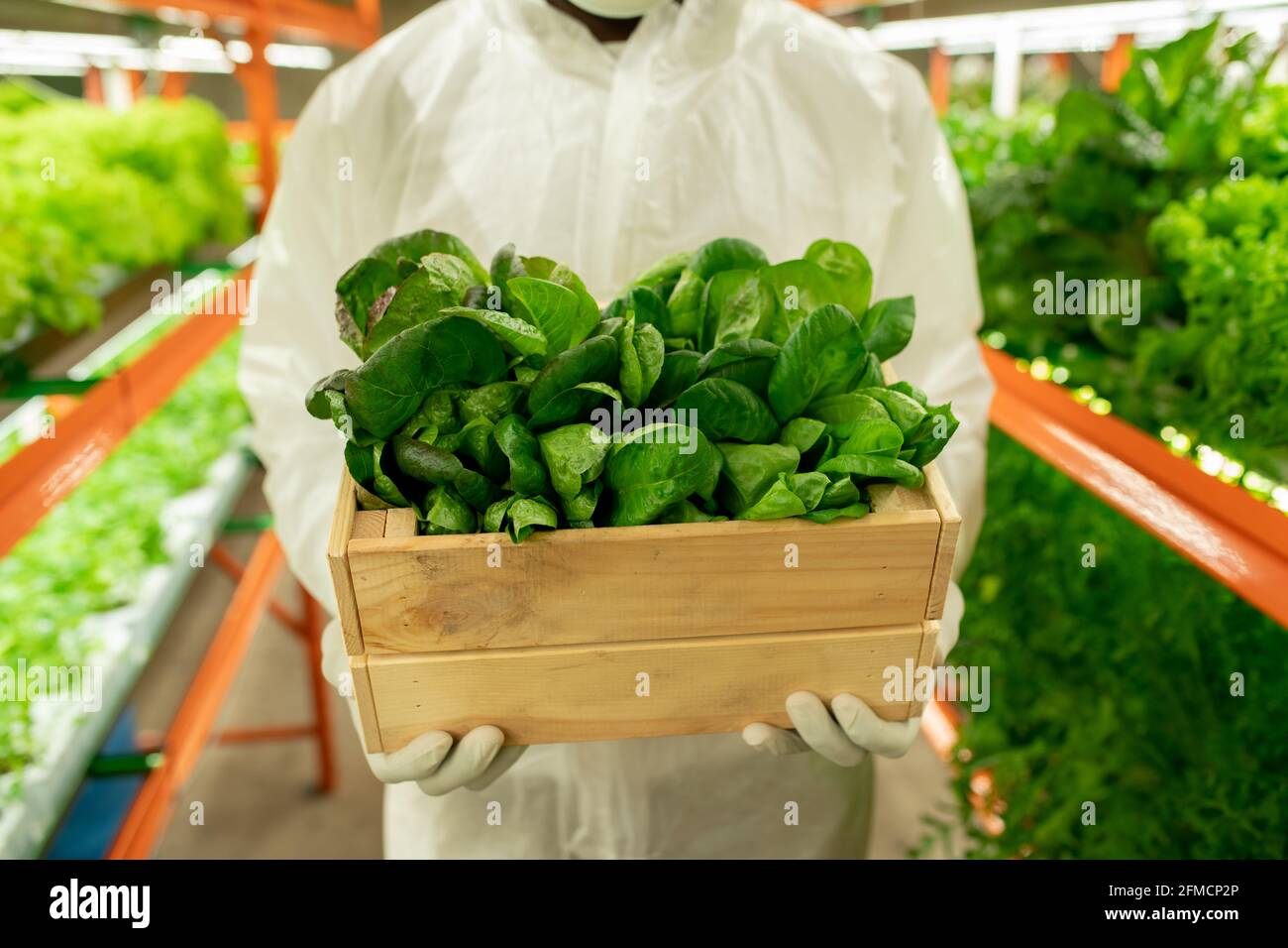 Primo piano di un irriconoscibile agroengineer in indumenti da lavoro di protezione in piedi con scatola di piantine verdi a fattoria verticale Foto Stock