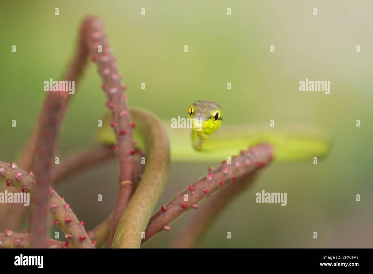 Il serpente di Vine dal naso corto - Oxybelis brevirostris, è un serpente arboreo che prede principalmente su rane e lucertole. Foto Stock