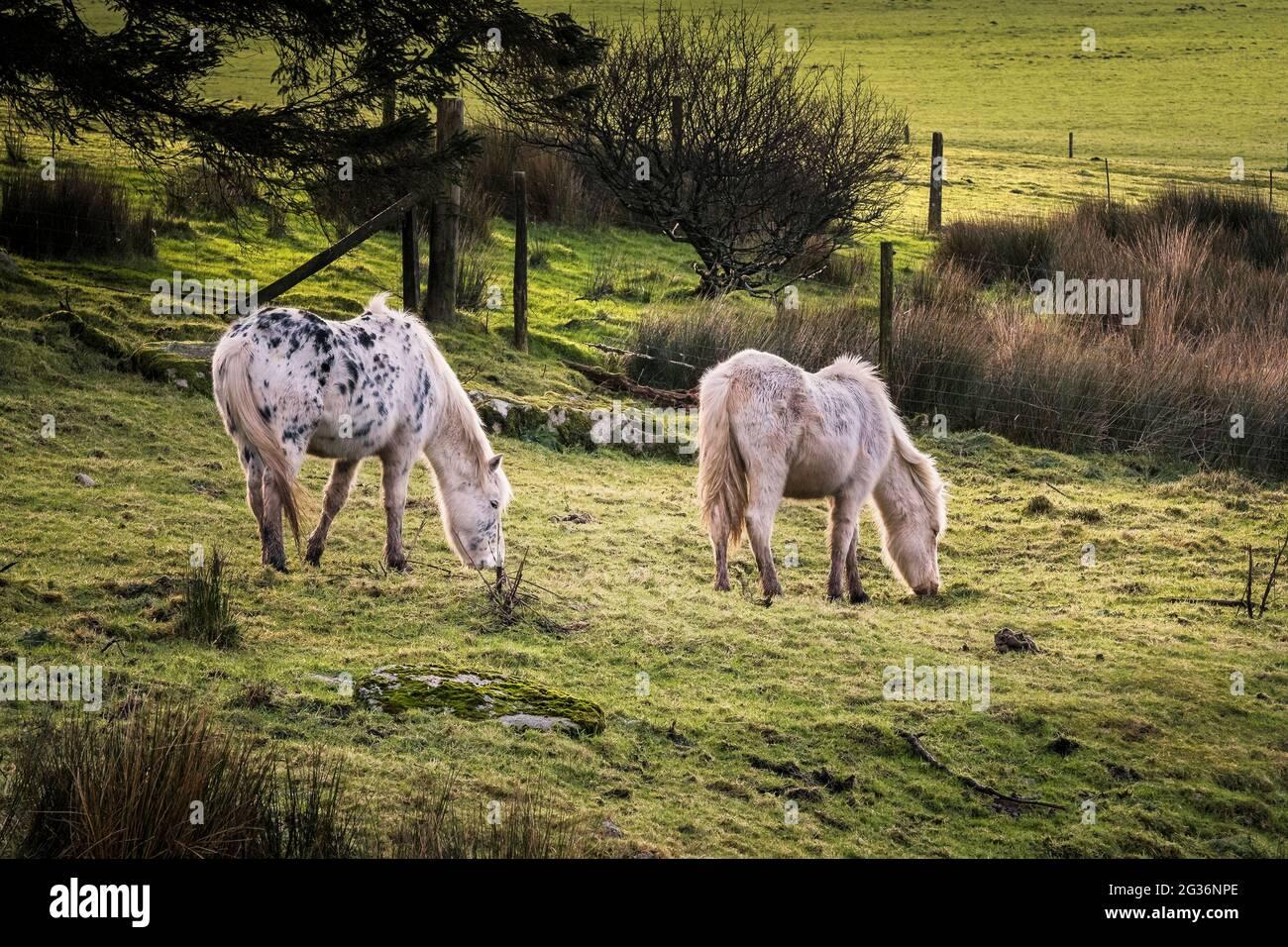 Iconici pony di Bodmin selvaggi che pascolano sulla brughiera di Bodmin in Cornovaglia. Foto Stock
