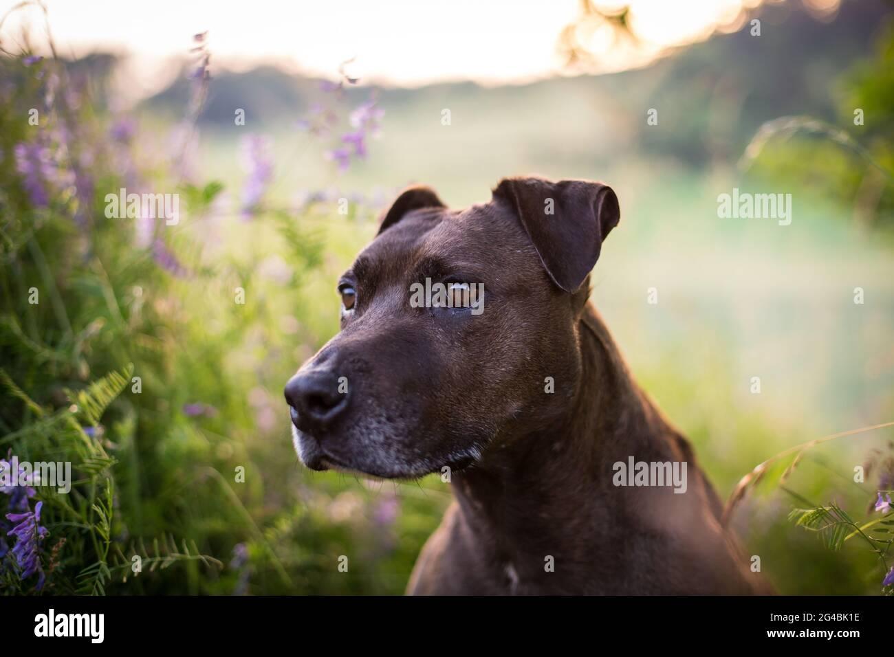 Cane Mixbred al sole di sera Foto Stock