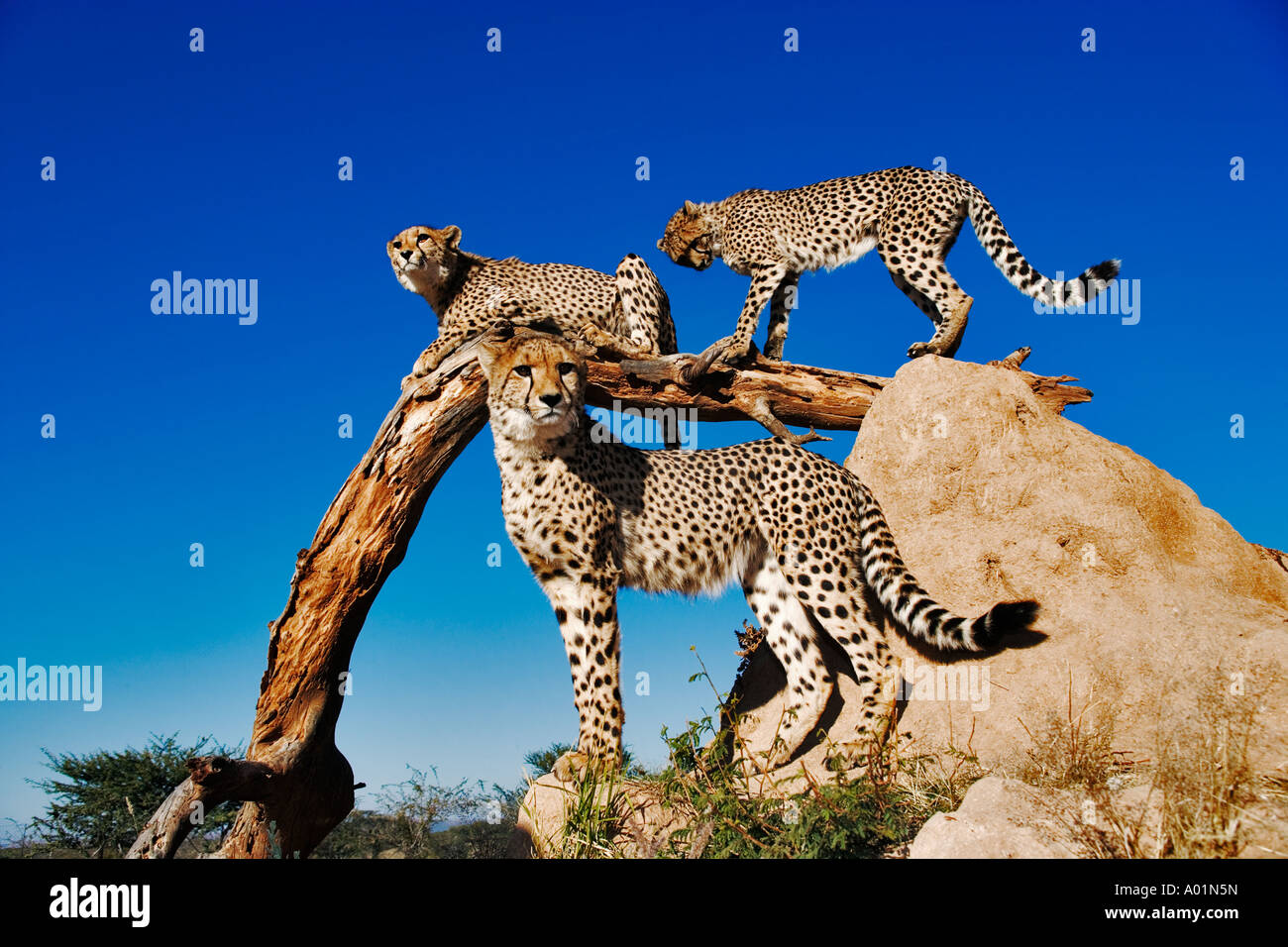 Gruppo di ghepardi utilizzando termite mound e filiale come una vantage point Namibia Immagini Stock