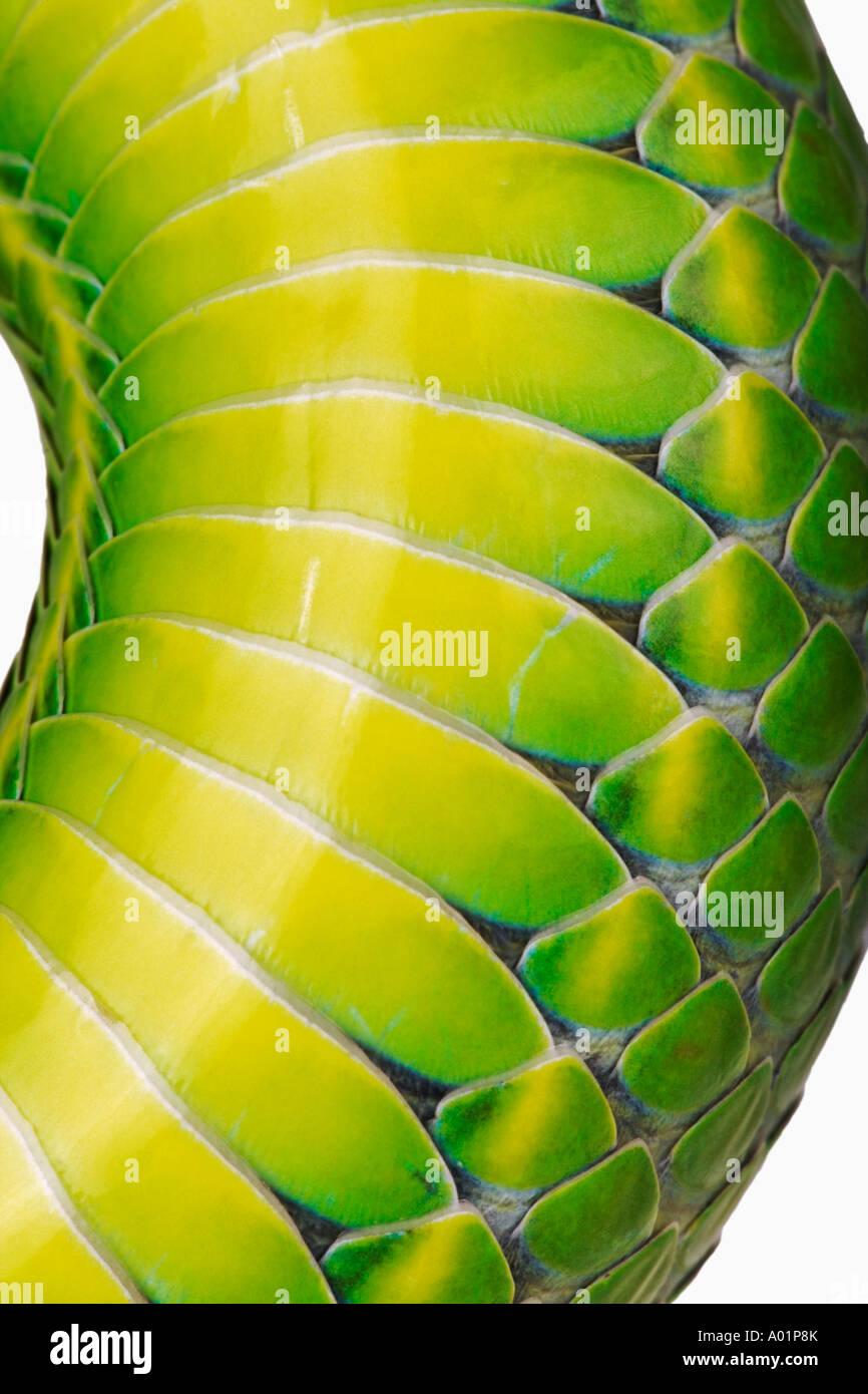 Bianco Verde a labbro Rattlesnakes Trimeresurus albolabris dettaglio della scala del ventre Indian sub continente nord sud-est asiatico Immagini Stock