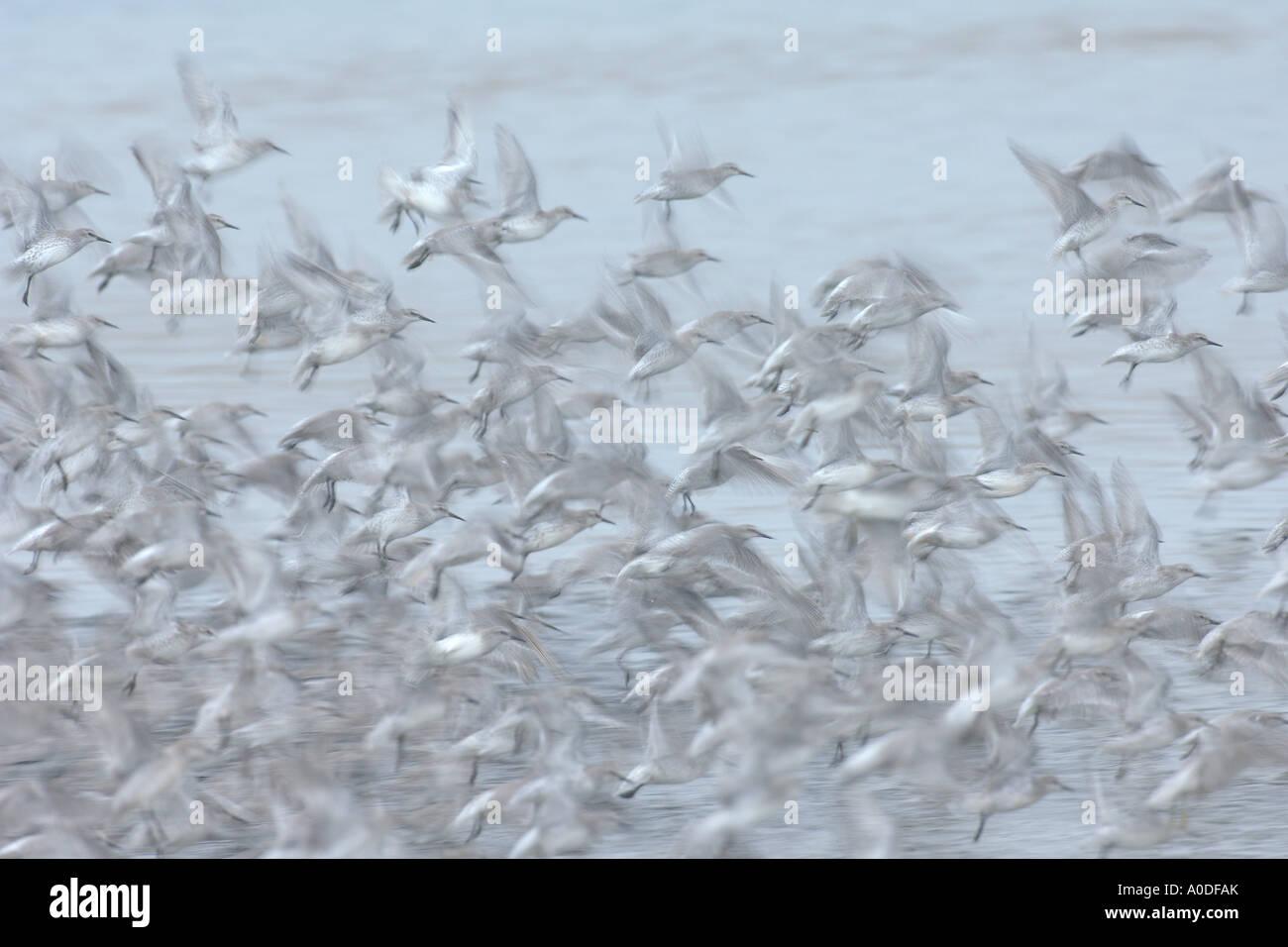 Gregge di piumaggio invernale knot Calidris canutus in volo Snettisham RSPB riserva Norfolk Inghilterra Ottobre Immagini Stock