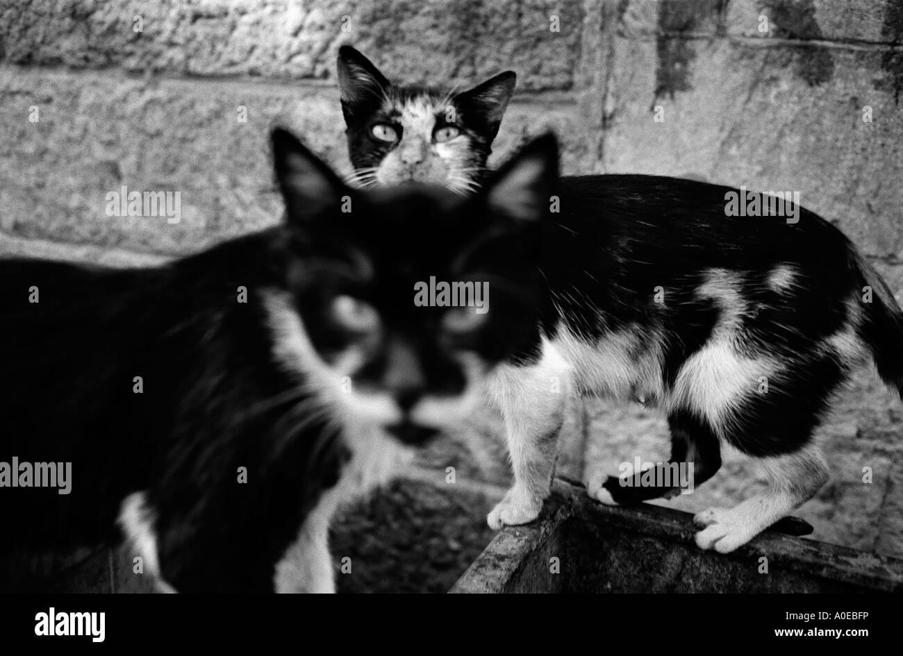 La caccia vagante gatti Immagini Stock