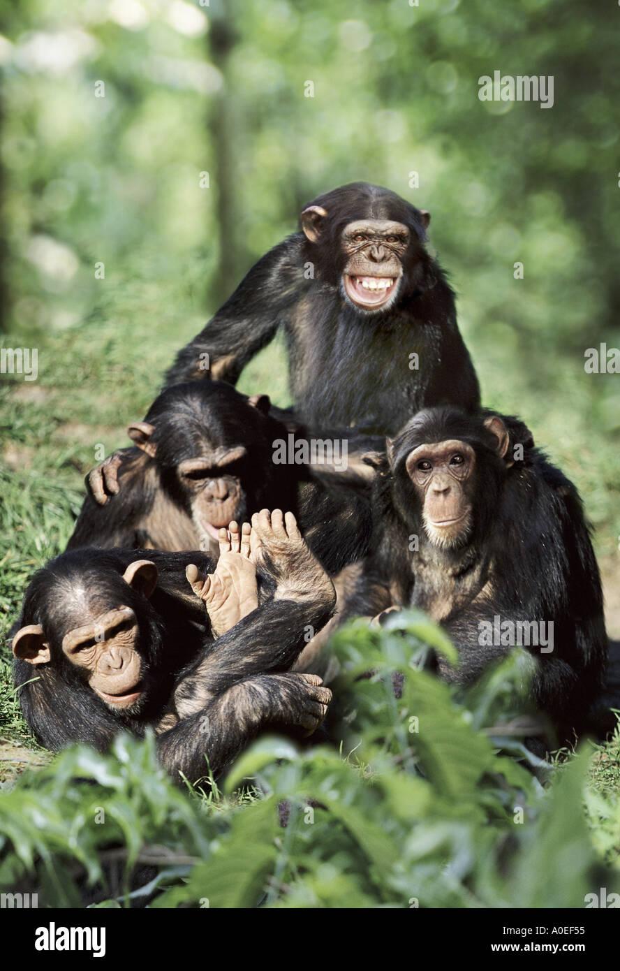 Gruppo di scimpanzé giocando Immagini Stock