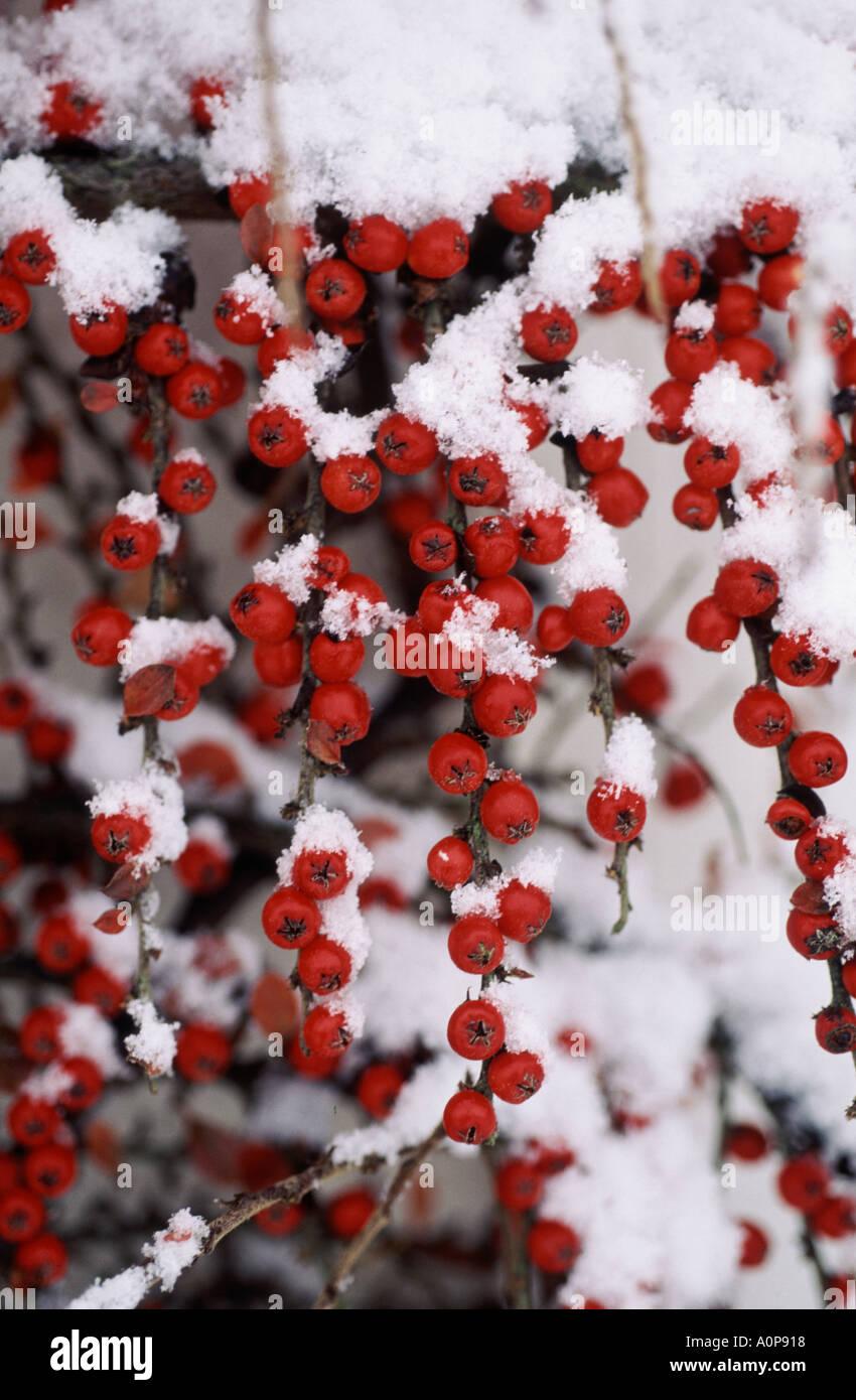 Pianta Ornamentale Con Bacche Rosse cotoneaster horizontalis con piante mature di bacche rosse