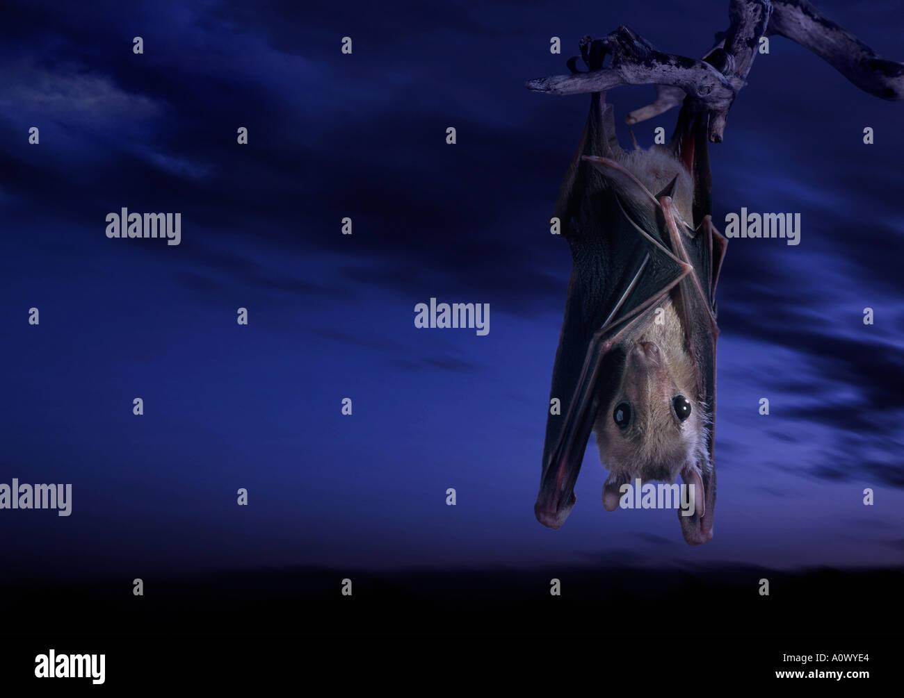 Pipistrello della frutta Foto Stock