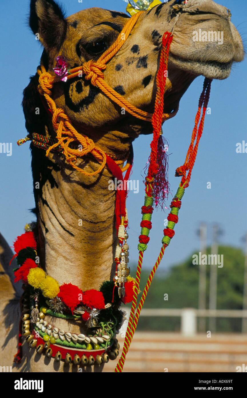 Camel adornata con nappe colorate Bikaner Desert Festival Rajasthan India Asia Immagini Stock
