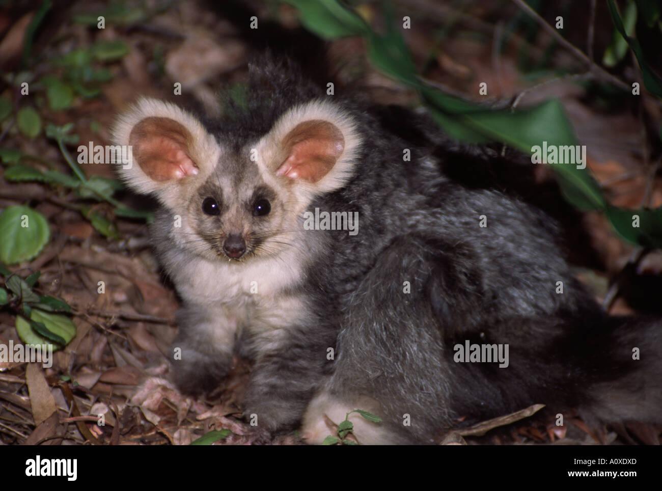 La maggior aliante che abita le foreste dell'Australia orientale è un raramente fotografato animale notturno - nel selvaggio Immagini Stock