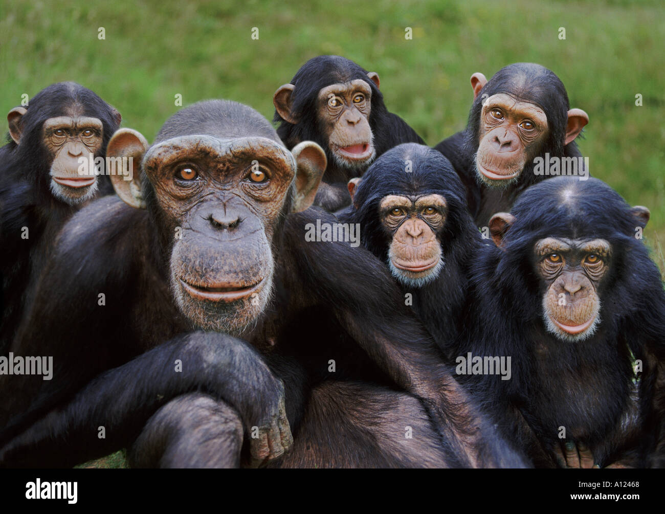 Gli scimpanzé orfani Monkey mondo ape rescue Centre Regno Unito Immagini Stock