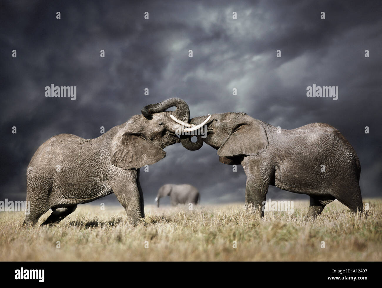 Gli elefanti combattendo contro il cielo tempestoso Masai Mara Kenya Immagini Stock