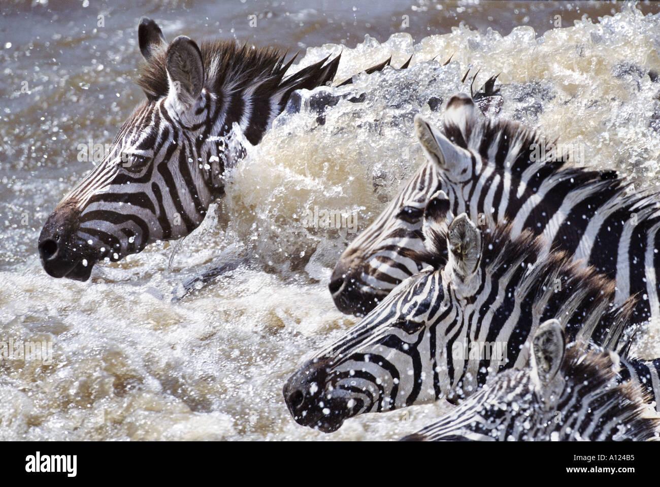 Zebre Attraversamento fiume Mara sulla migrazione Kenya Immagini Stock