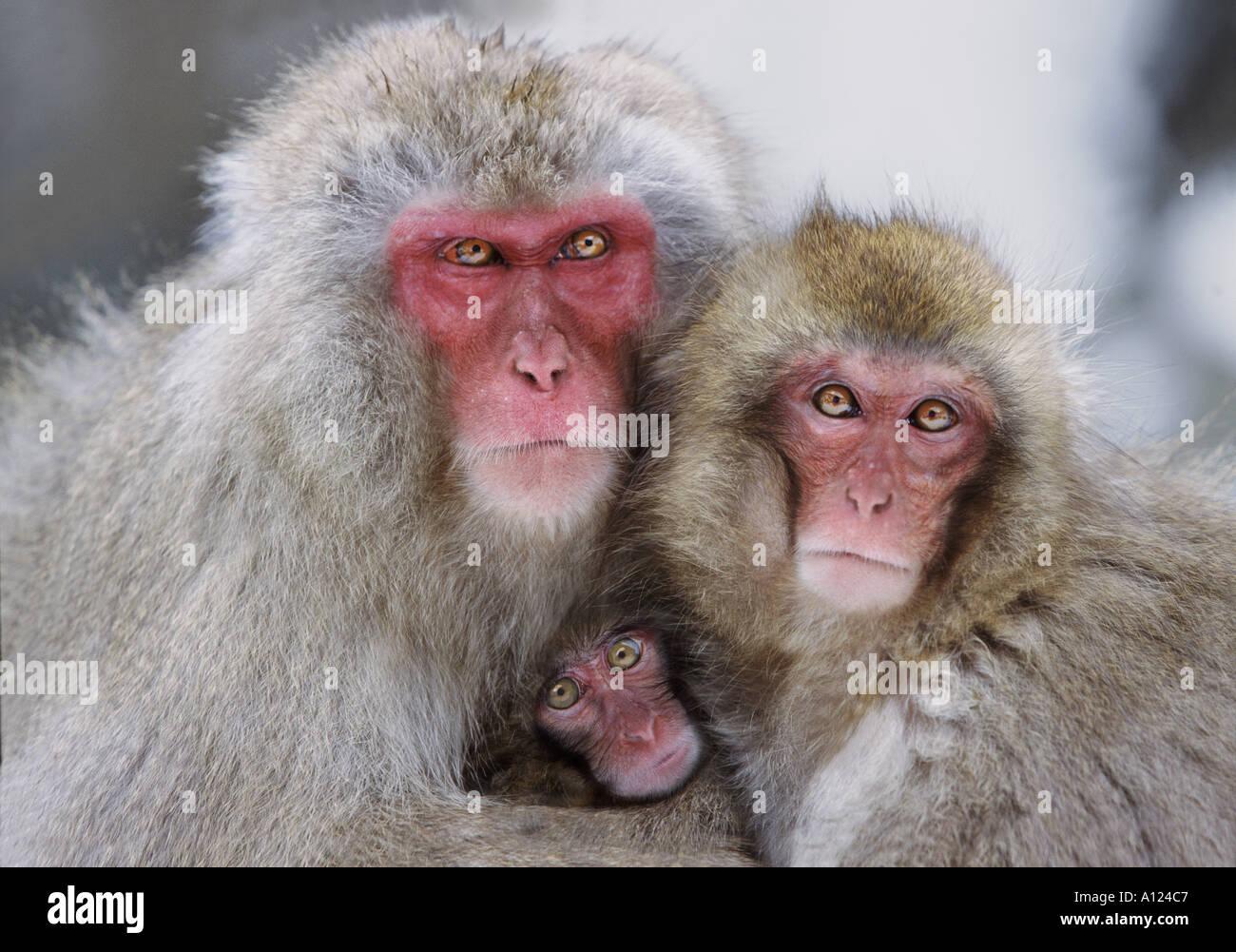 Neve in famiglia di scimmia Jigokudani Parco Nazionale del Giappone Immagini Stock