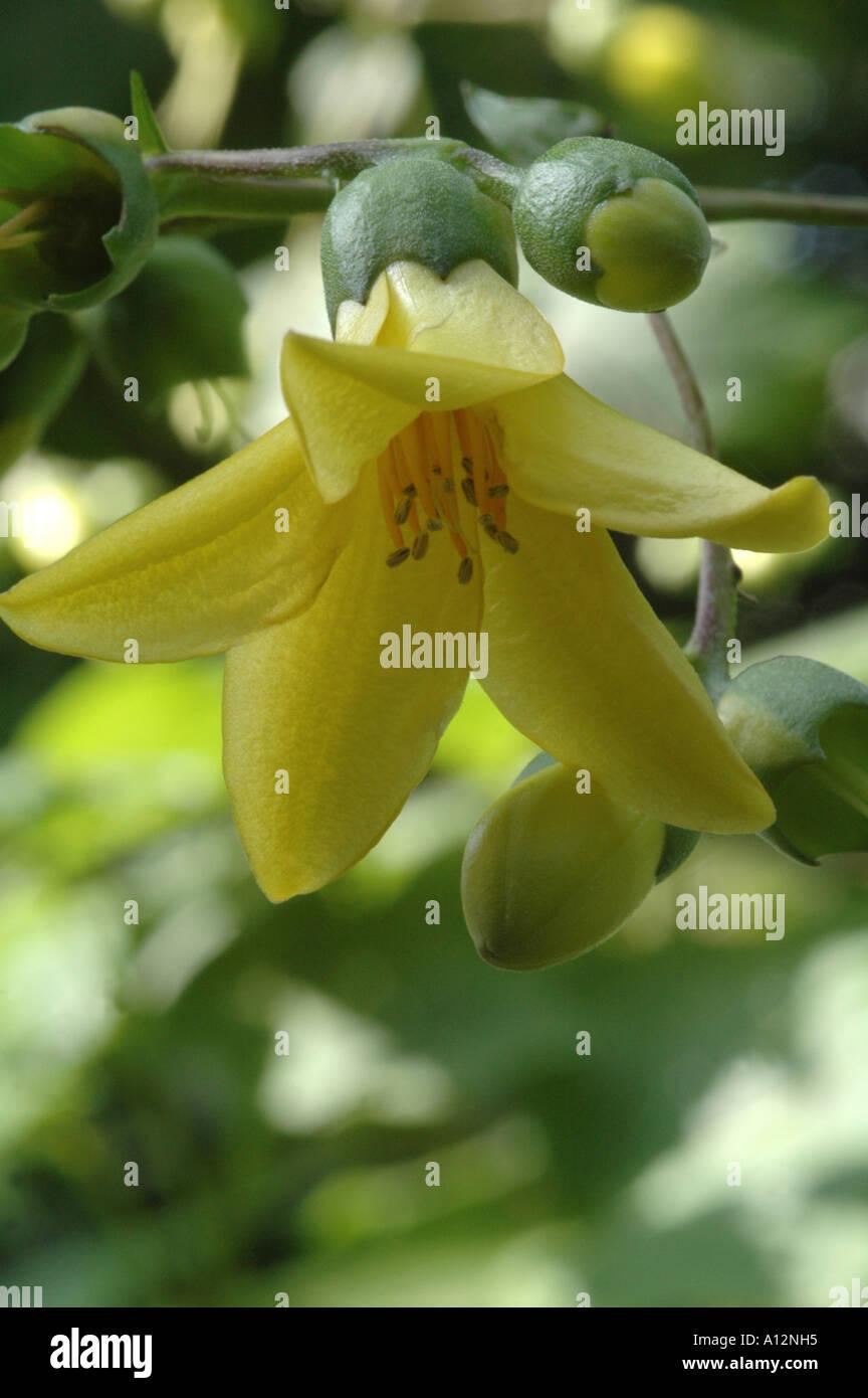 Kirengeshoma Palmata raro e insolito giallo piccolo arbusto fiorito Immagini Stock