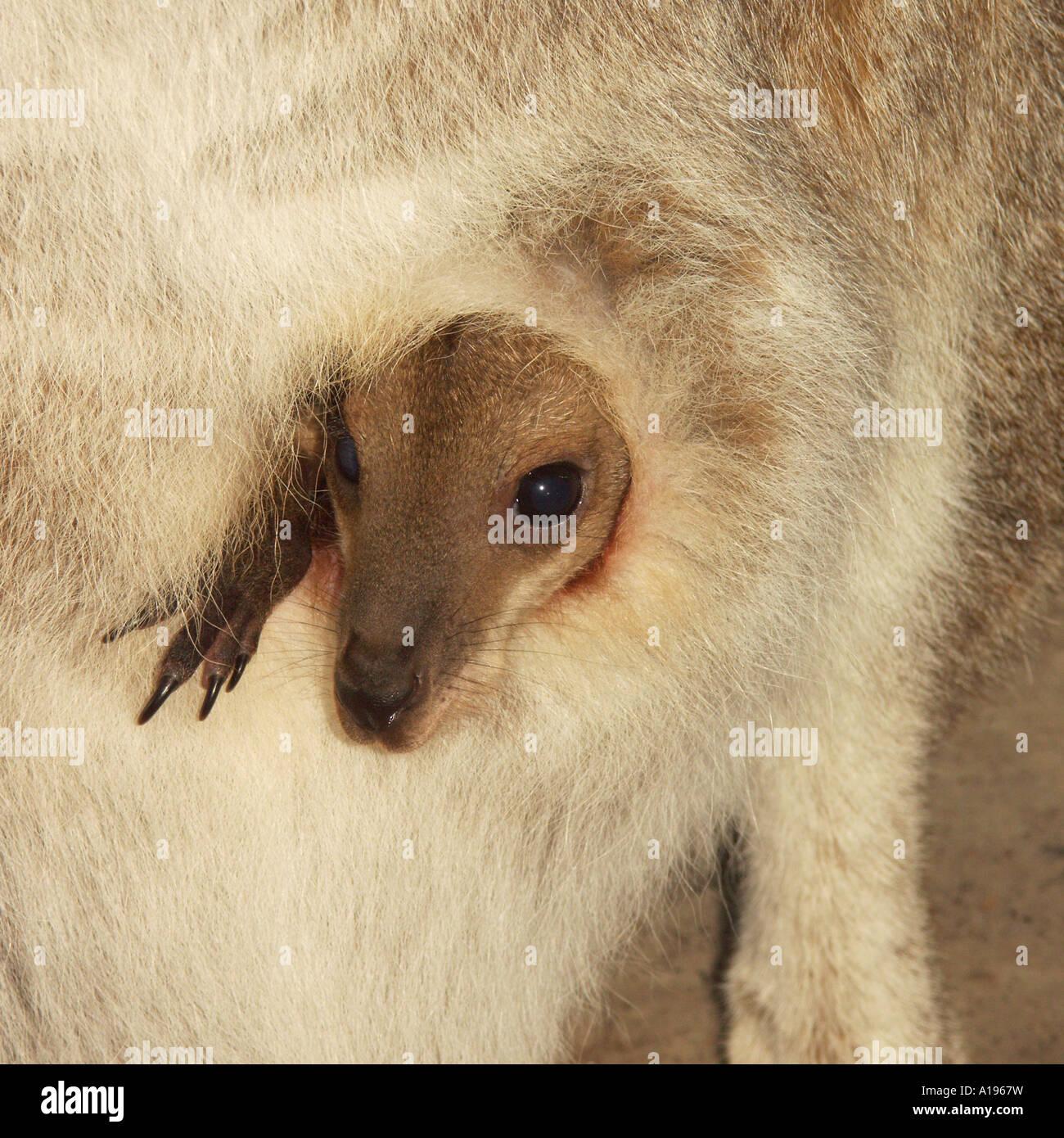 Giovani kangaroo allo stato selvatico in un australiano Parco Nazionale di coetanei di sua madre della custodia Immagini Stock