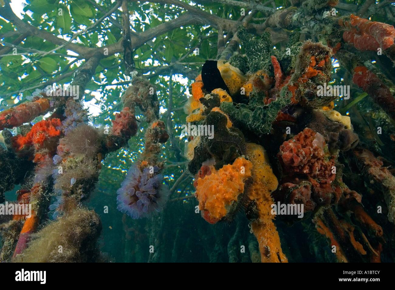Scena subacquea di radici di mangrovia coperto con invertebrati colorati tabacco Cay Belize Immagini Stock