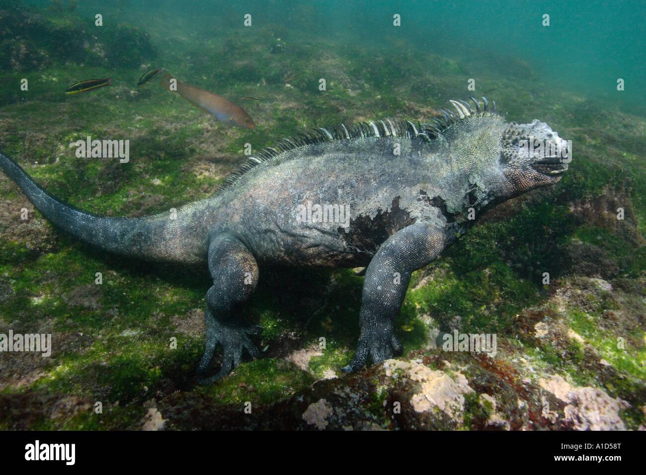Nu2381. Marino, Iguana Amblyrhynchus cristatus, subacquea alimentazione sulle alghe. Galapagos. Foto Copyright Brandon Immagini Stock