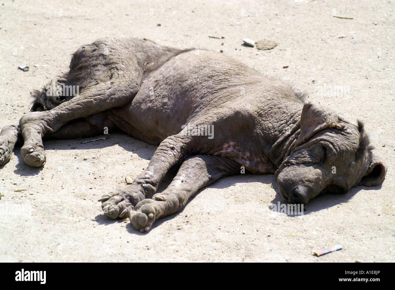 Quasi cane morto cadavere giacente sulla strada di Manikaran, India Immagini Stock