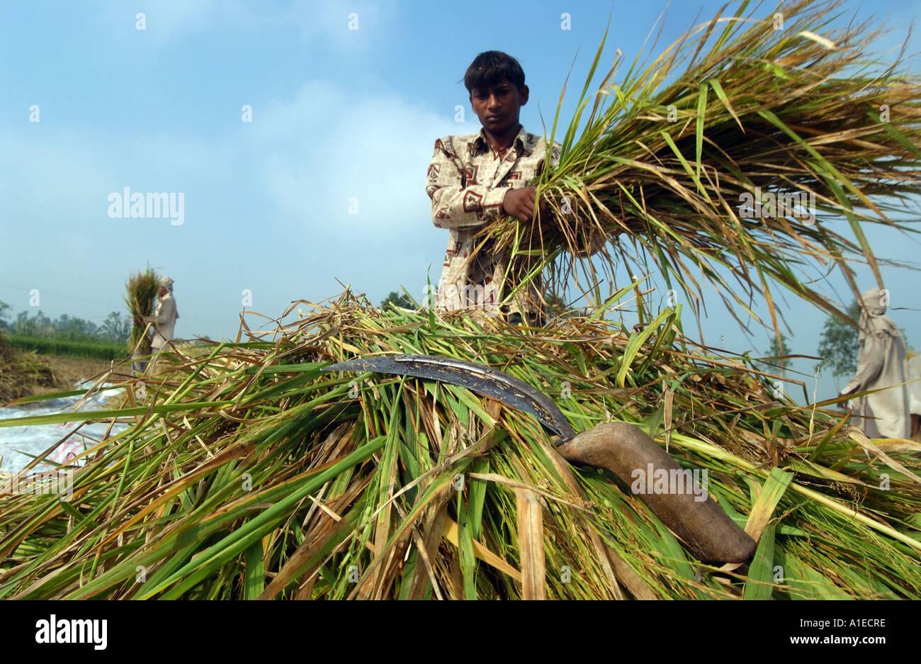 Fairtrade riso agricoltore in India del nord Immagini Stock