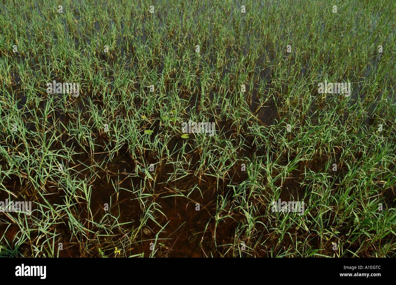 Campo di riso pronto per la raccolta in India del nord. Il riso qui è commercializzata tramite il regime di Fairtrade Immagini Stock