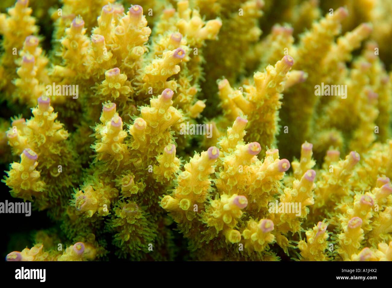 Primo piano vista subacquea di corallo Acropora Immagini Stock