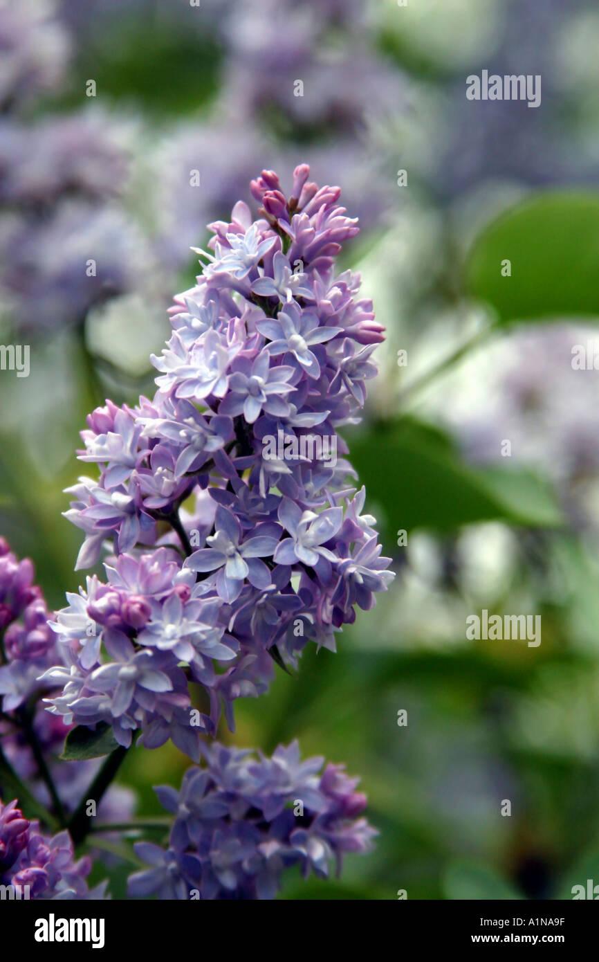Albero Di Lillà albero di lilla in piena primavera fiorisce syringa villosa