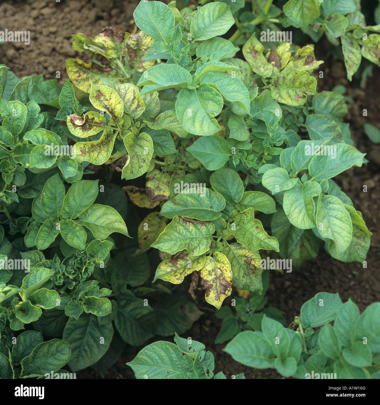 La deficienza di magnesio sintomi su alcune foglie di patata in questo prodotto organico Immagini Stock