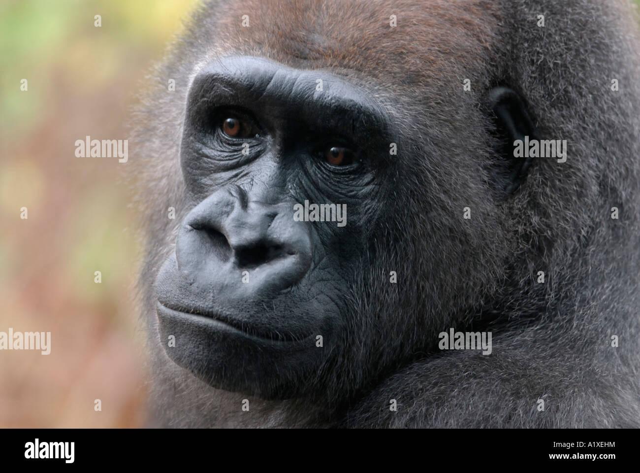La pianura occidentale gorilla Gorilla gorilla gorilla Immagini Stock