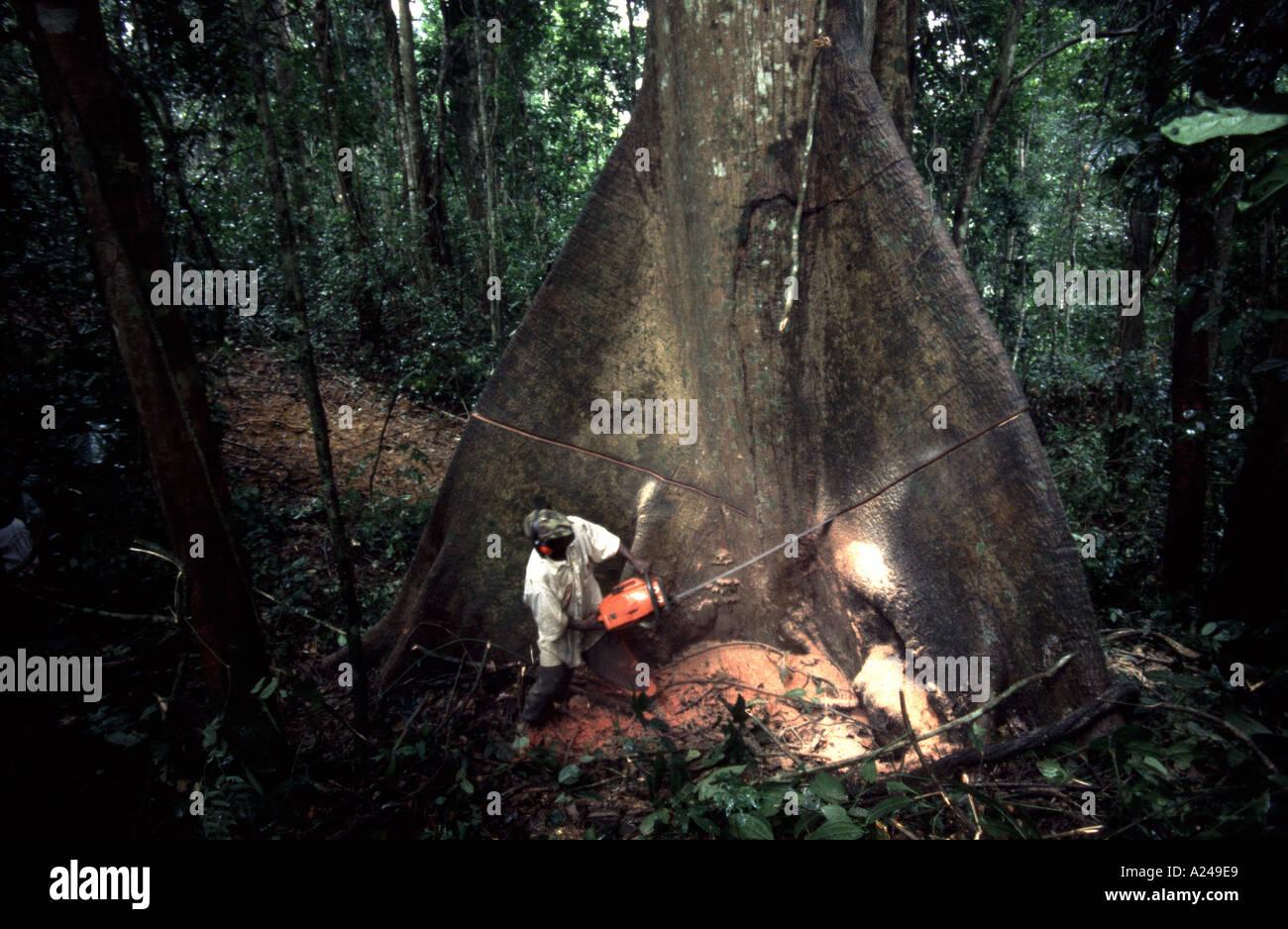 Registrazione di legno duro tropicale di alberi in Africa Centrale Repubblica del Camerun Immagini Stock