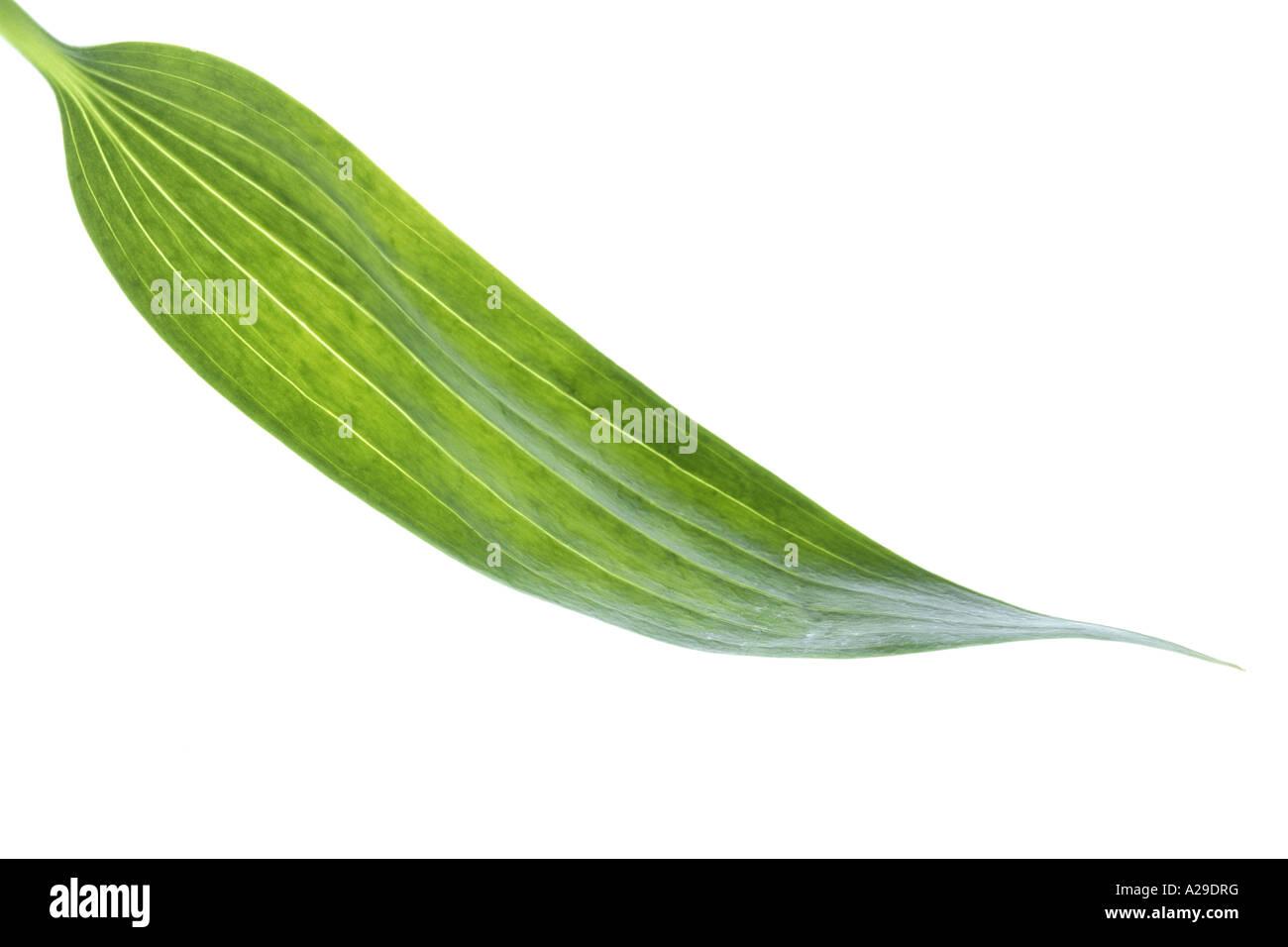 Singola foglia verde Immagini Stock