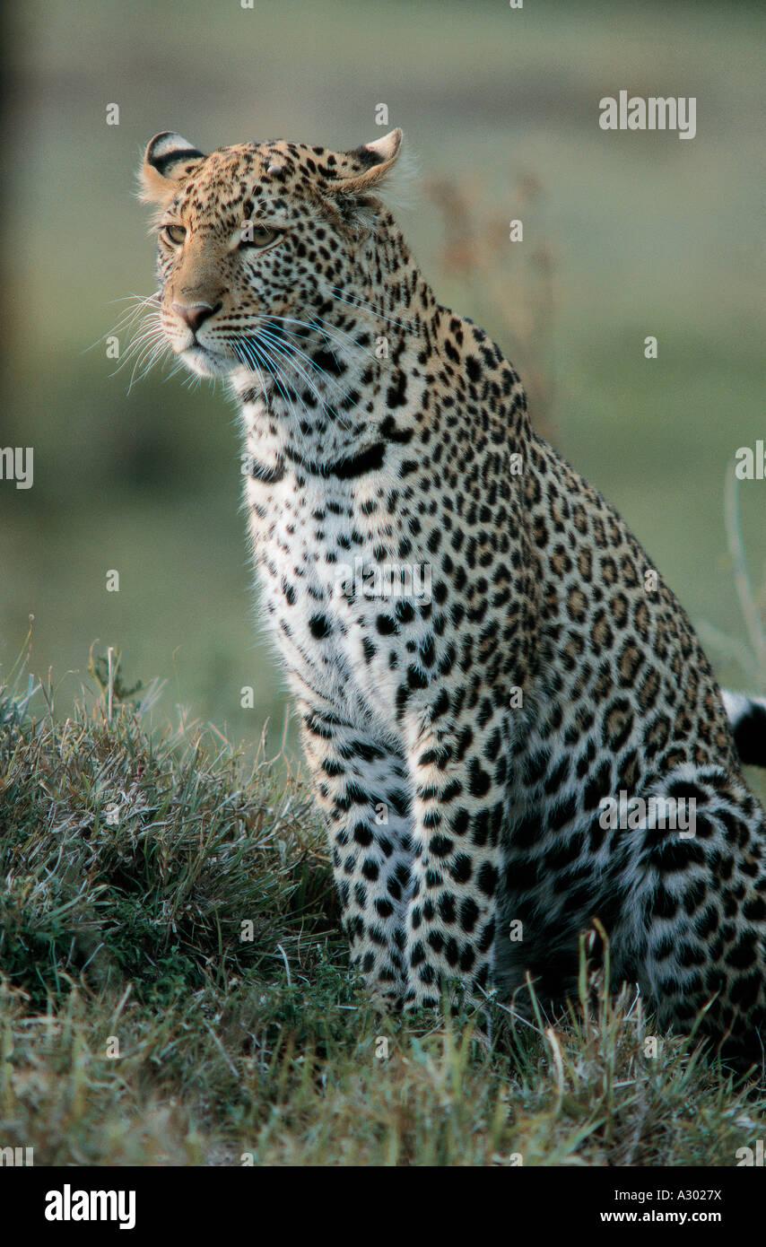 Ritratto di quasi completamente cresciuti Leopard nella Riserva Nazionale di Masai Mara Kenya Africa orientale Immagini Stock