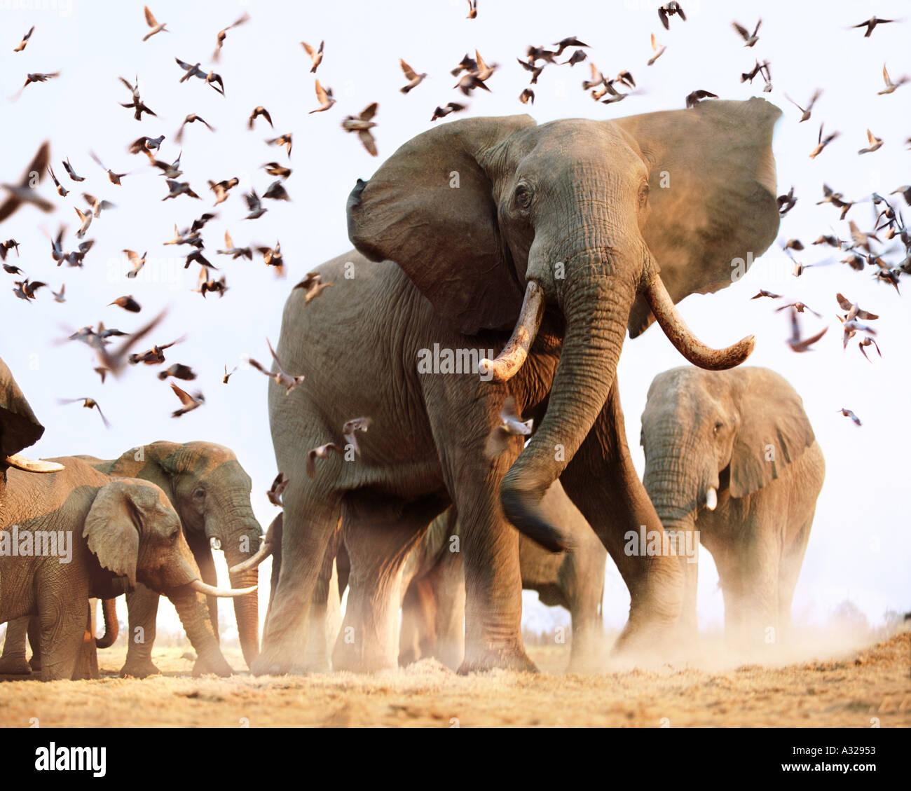Gli elefanti africani inquietante stormo di uccelli Savuti Botswana Immagini Stock